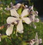 Gewöhnliches Seifenkraut - Saponaria officinalis
