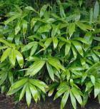Breitblättriger Bambus 40-60cm - Sasa palmata nebulosa