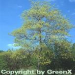 Fenchelholzbaum 30-40cm - Sassafras albidum - Vorschau
