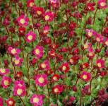 Moossteinbrech Pixi Rose - Saxifraga arendsii - Vorschau