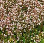 Porzellanblümchen Aureopunctata - Saxifraga urbium - Vorschau
