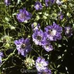 Kaukasus Skabiose Blauer Atlas - Scabiosa caucasica