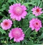 Tauben Skabiose Pink Mist - Scabiosa columbaria - Vorschau