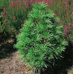 Japanische Schirmtanne Grüne Kugel 50-60cm - Sciadopitys verticillata