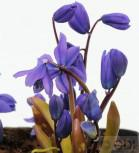 Sibirischer Blaustern Spring Beauty - Scilla siberica Spring Beauty - Vorschau