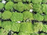 Neuseeländer Knäuel - Scleranthus uniflorus - Vorschau