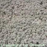 Pflaumen Fetthenne - Sedum cauticola