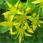 Fetthenne Immergrünchen - Sedum floriferum - Vorschau