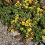 Fetthenne Oracle - Sedum floriferum