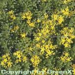 Fetthenne Weihenstephaner Gold - Sedum floriferum