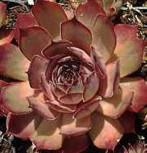 Dachwurz Rusty - Sempervivum cultorum