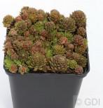Dachwurz Kugelblitz - Sempervivum arachnoideum