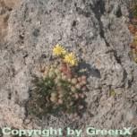 Spinnweb Hauswurz Boris - Sempervivum ciliosum