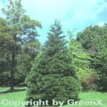 Kalifornischer Mammutbaum 30-40cm - Sequoiadendron giganteum - Vorschau