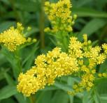 Goldrute Goldene Wellen - Solidago sempervirens