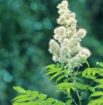 Hohe Fiederspiere 60-80cm - Sorbaria sorbifolia