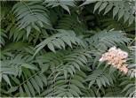 Sibirische Fiederspiere® 30-40cm - Sorbaria sorbifolia - Vorschau