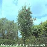 Pyramiden Eberesche 80-100cm - Sorbus aucuparia Fatigiata