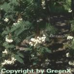 Weiße Zwerg Eberesche 60-80cm - Sorbus koehneana