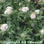 Weiße Zwergspiere 30-40cm - Spiraea japonica