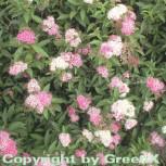 Zwergspiere Shirobana 30-40cm - Spiraea japonica - Vorschau