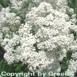 Strauch Prachtspiere 60-80cm - Spiraea vanhouttii