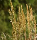Zottengras - Spodiopogon sibiricus
