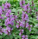 Großblumiger Ziest Superba - Stachys grandiflora