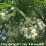 Kolchische Pimpernuss 100-125cm - Staphylea colchica - Vorschau