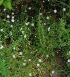 Große Sternmiere - Stellaria holostea