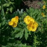 Schöllkrautmohn - Stylophorum diphyllum