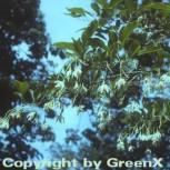 Schneeglöckchenstrauch 125-150cm - Styrax japonica