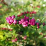 Amethystbeere Magic Berry 60-80cm - Symphoricarpos doorenbosii