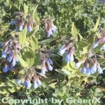 Blauer Beinwell - Symphytum azureum