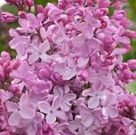 Edelflieder Esther Staley - Kircher-Collection 30-40cm - Syringa hyacinthiflora - Vorschau