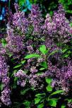 Edelflieder Minuet - Kircher-Collection 30-40cm - Syringa hyacinthiflora - Vorschau