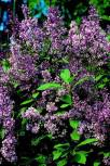 Edelflieder Minuet - Kircher-Collection 60-80cm - Syringa hyacinthiflora
