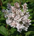 Edelflieder Miss USA - Kircher-Collection 125-150cm - Syringa hyacinthiflora