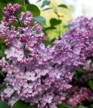 Edelflieder Rosenrot - Kircher-Collection 40-60cm - Syringa hyacinthiflora