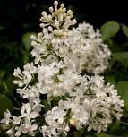 Edelflieder Schneeweißchen - Kircher-Collection 40-60cm - Syringa hyacinthiflora - Vorschau