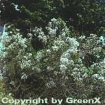 Weißer Persische Flieder 40-60cm - Syringa persica - Vorschau