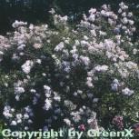 Persische Flieder 40-60cm - Syringa persica
