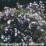 Persische Flieder 80-100cm - Syringa persica