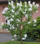 Fiederblättriger Flieder 40-60cm - Syringa pinnatifolia - Vorschau