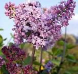 Edelflieder Antonie Buchner - Kircher-Collection 80-100cm - Syringa vulgaris