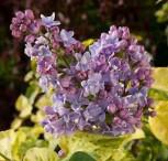 Edelflieder Aucubaefolia - Kircher-Collection 30-40cm - Syringa vulgaris