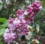 Edelflieder Belle de Nancy 60-80cm - Syringa vulgaris