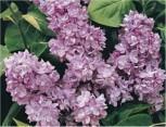 Edelflieder Edward J. Gardner 40-60cm - Syringa vulgaris