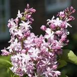 Edelflieder Flamingo - Kircher-Collection 40-60cm - Syringa vulgaris