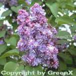 Hochstamm Edelflieder Michael Buchner 60-80cm - Syringa vulgaris
